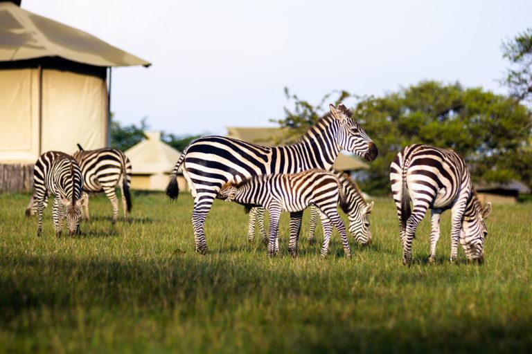 zebras come say hello