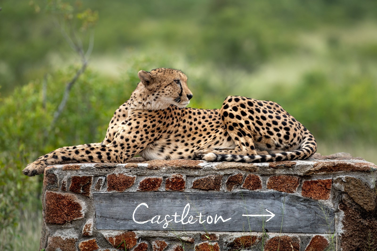 Castleton with cheetah